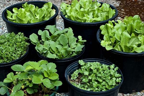 how to grow organic vegetables at home 1