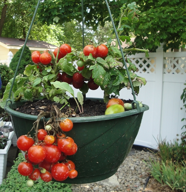As A Beginner If You Learn How To Grow Organic Vegetables In Pots Expertly,  In The Future It Would Be Easier For You To Plant And Maintain A  Fully Fledged ...