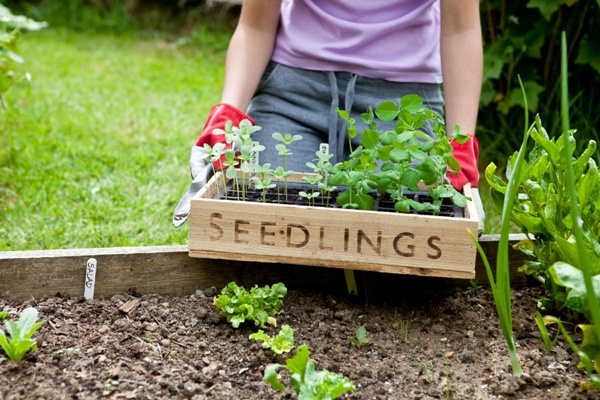 how to grow organic vegetables at home d