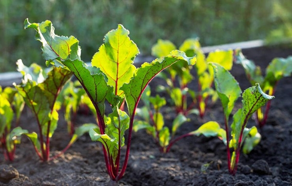 how to grow organic vegetables at home b